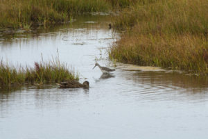 mallard-greateryellowlegs
